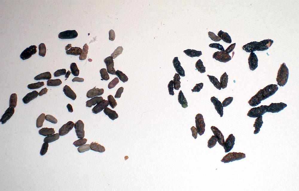 Foto 1. A la izquierda, excrementos de cucaracha americana. A la derecha, excrementos de ratón./ Desinsectador 03-11-2012