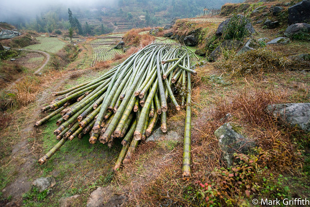 Harvest of Bamboo