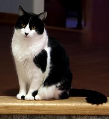 Black and White Cat pose