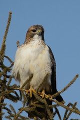 Red-tailed Hawk_49524.jpg by Mully410 * Images