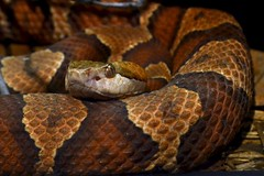 boas, animal, serpent, snake, reptile, viper, scaled reptile,