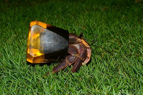 這不是新品種寄居蟹,而是無殼可用的寄居蟹只好揹著水龍頭。(攝影:呂縉宇)