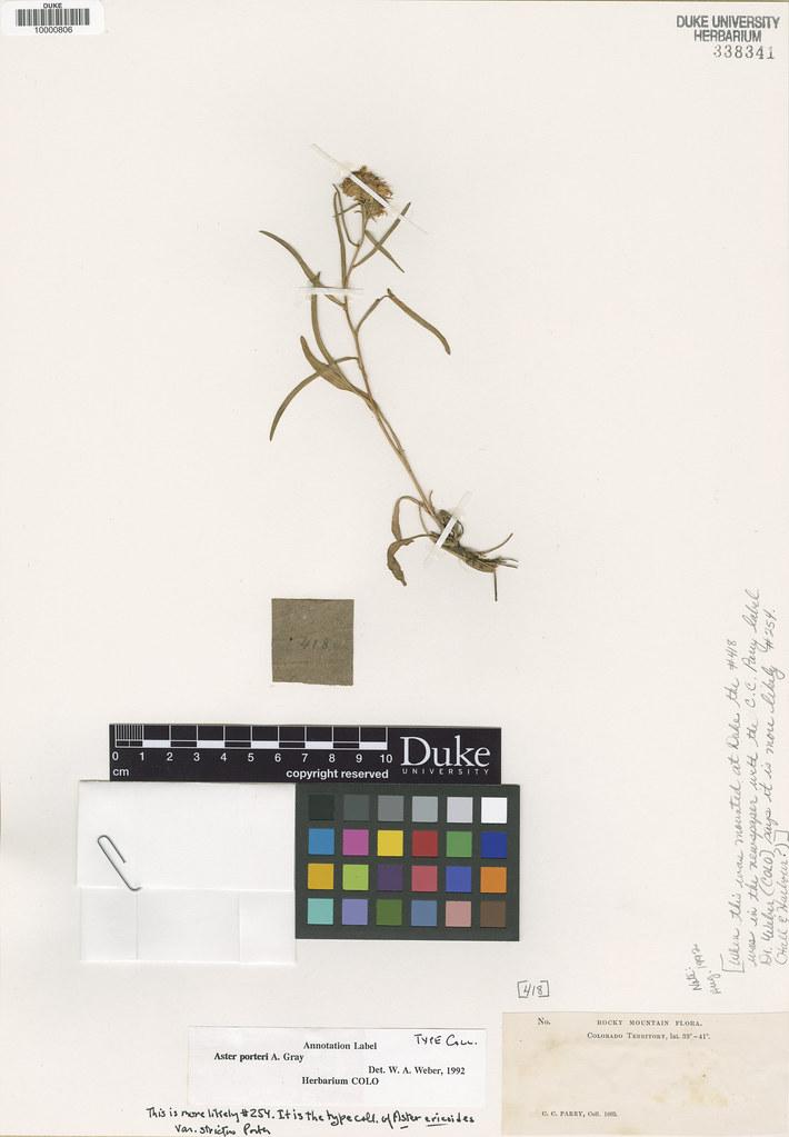 Asteraceae_Aster porteri