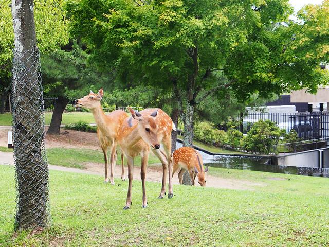 奈良公園的鹿群