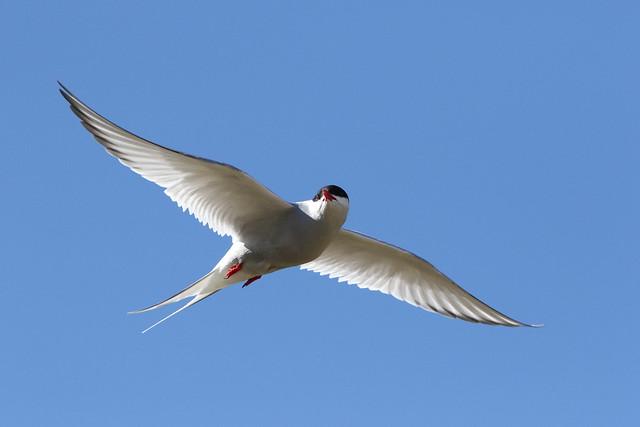 Artic Tern in Iceland
