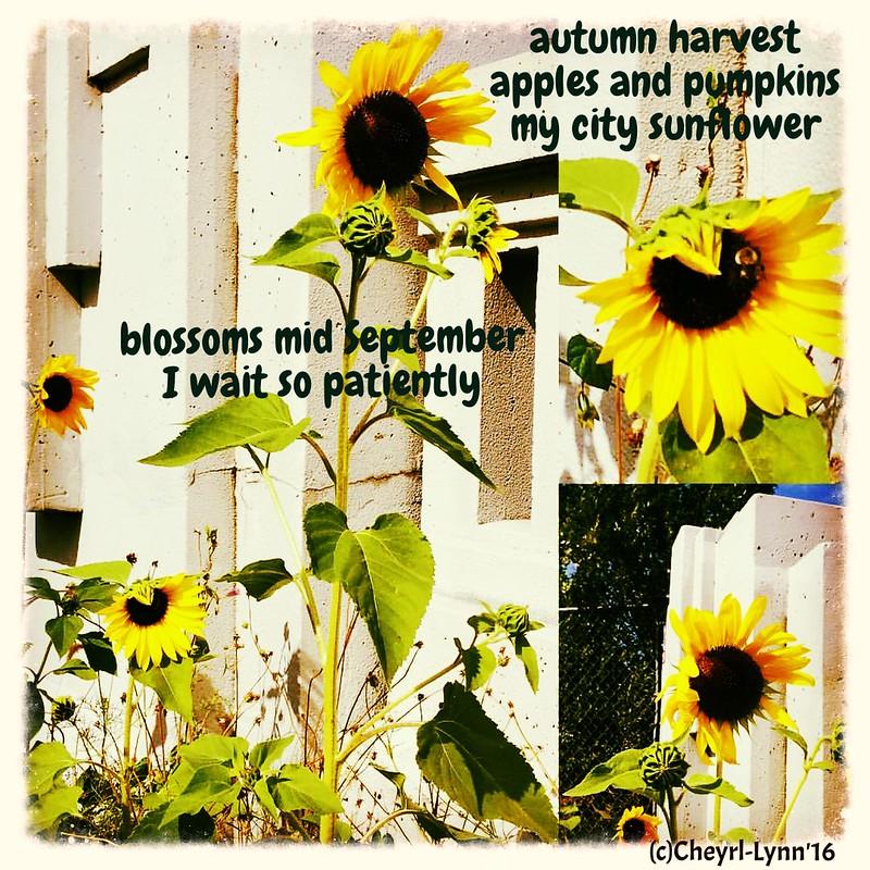 sunflowers 2016