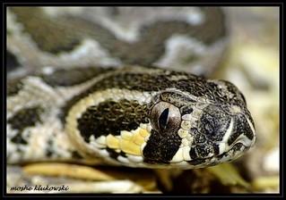 israeli viper - צפע מצוי \ צפע ארצישראלי