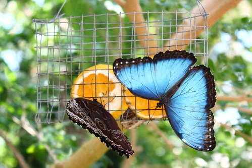 Blue Morphos