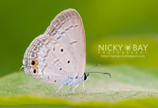 Gram Blue? (Euchrysops cnejus cnejus) - DSC_6960