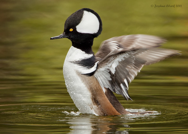 Hooded Merganser (Drake)