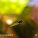 柯丁誌_竹洞中的艾氏樹蛙蝌蚪