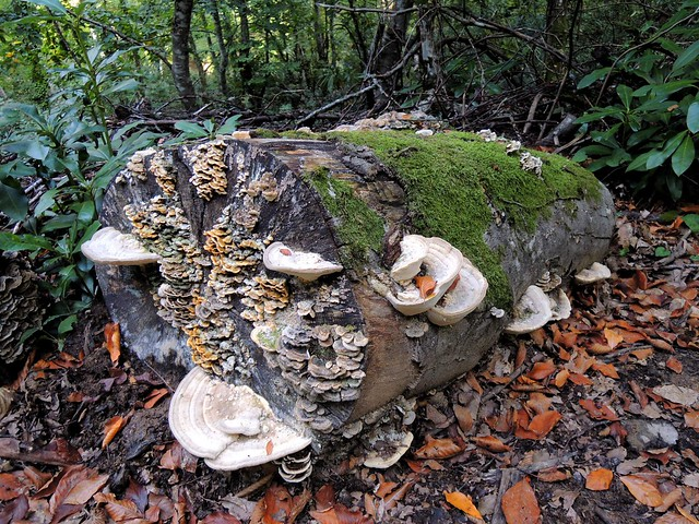 It was very common to see muchrooms growing out of the log cuts by bryandkeith on flickr