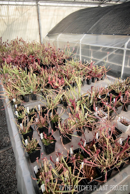 Young Sarracenia Table