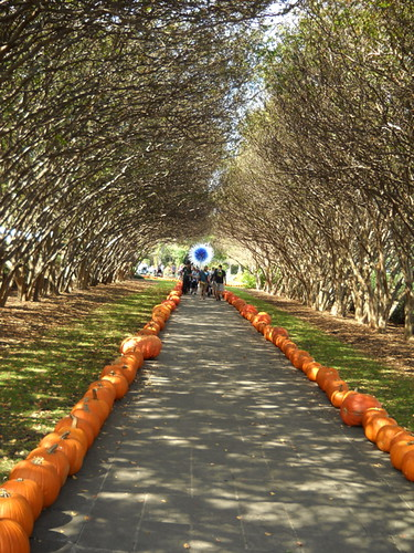 lined with pumpkins