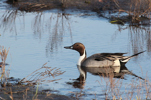 Northern pintail by ricmcarthur