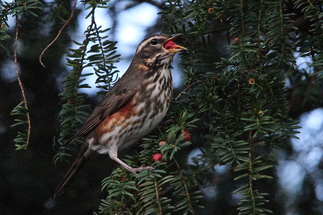 Redwing with Yew Berry, Robert's Park