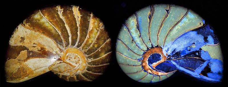 Nautilus fossil shell fluorescence
