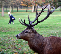 Stag and Golfer