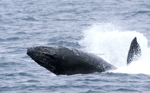 Hump backed whale by Gus McNab