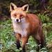 Fox by charlie.syme