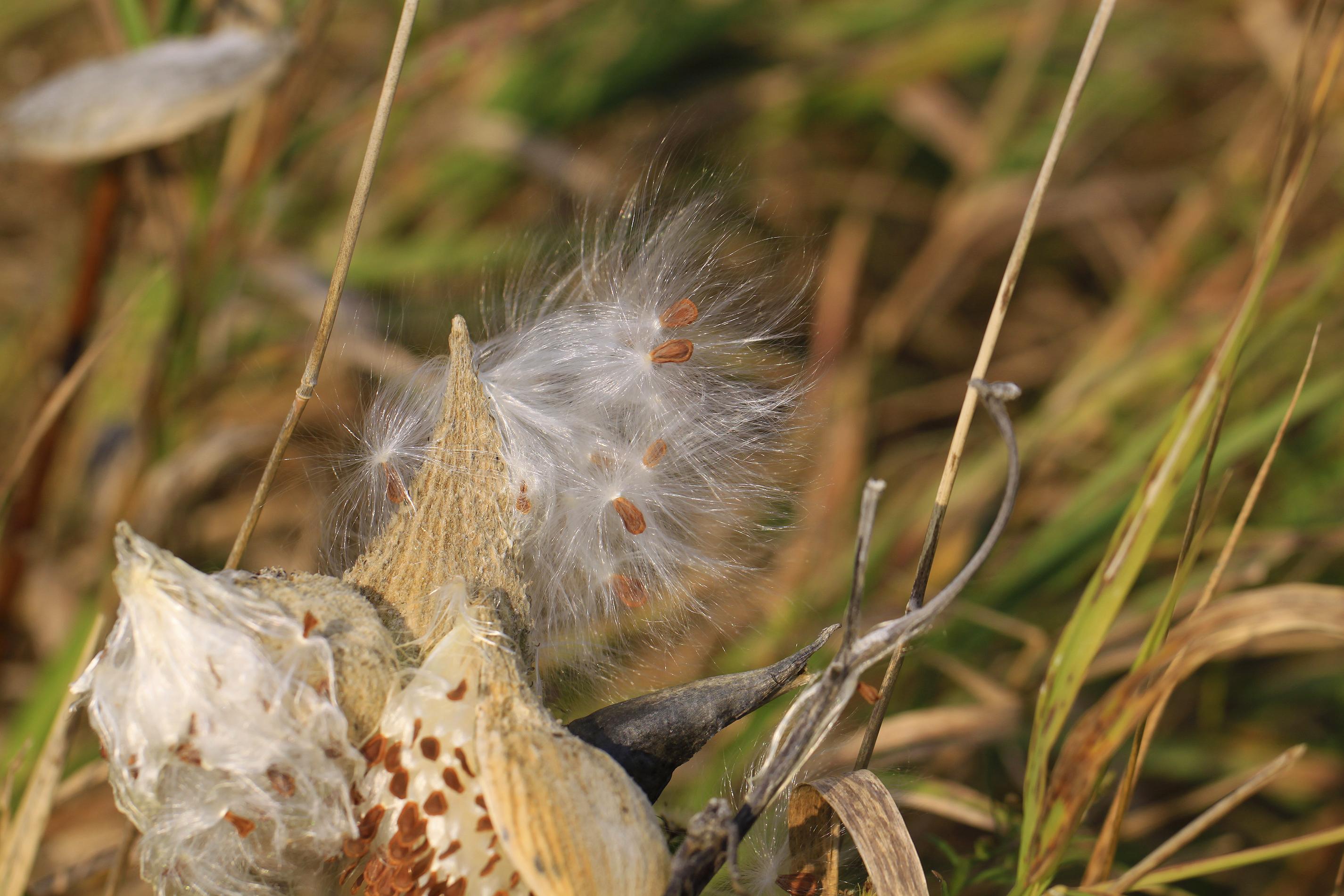 milkweed seeds2