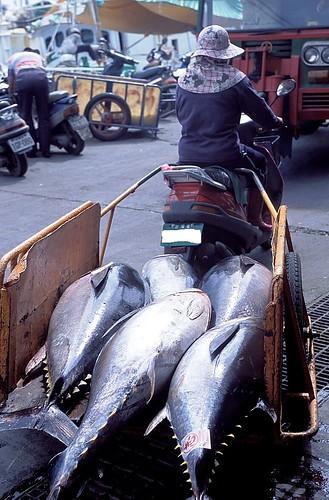 怕黃鰭鮪走上黑鮪之途,農委會水試所發展養殖技術多年,要養黃鰭鮪,必須先釣回幼生,再養在沿海箱網裡。圖為運送黃鰭鮪的魚販。攝影:金磊。