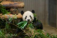 パンダのリーリー 2012 11 24