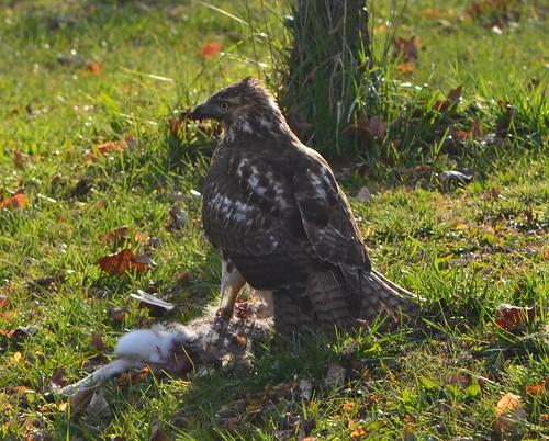 Todays Bird: Red-tailed Hawk | Southern Indiana Birder
