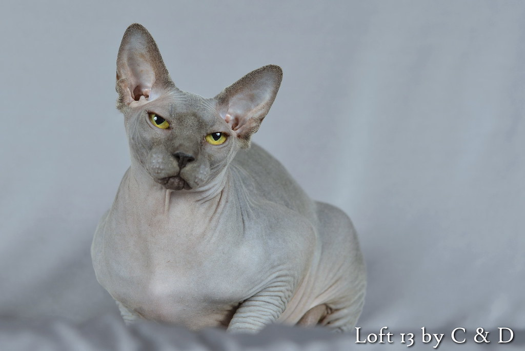 H'Lord of the Rings de Chatminath, mâle Bleu Sphynx