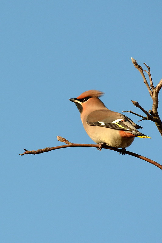 Waxwing Side On