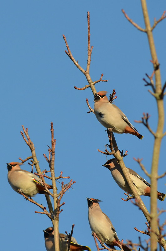 Waxwing Group