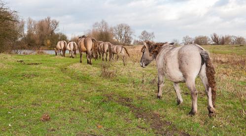 Konik horses - Kik paarden by RuudMorijn