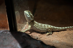 agama(0.0), animal(1.0), reptile(1.0), lizard(1.0), fauna(1.0), close-up(1.0), lacerta(1.0), lacertidae(1.0), dactyloidae(1.0), scaled reptile(1.0), wildlife(1.0),