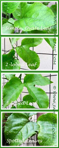 Passiflora edulis: variable leaf shapes and changes in foliage