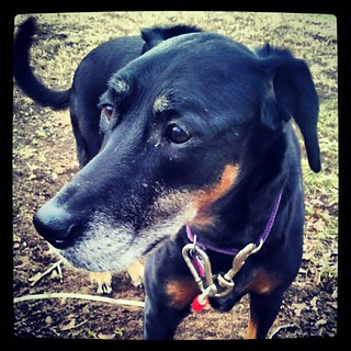 My baby girl Lola #dobermanmix #dobiemix #rescue #adoptdontshop #dogs #happydog #dogstagram