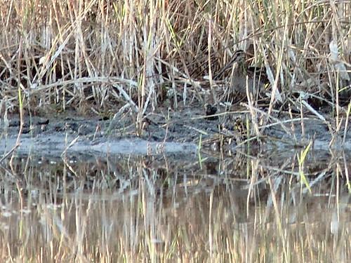 Wilson's Snipe found 20121202