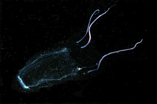 <p>Alatina moseri the Hawaiian box jelly taken here on Oahu. photo by Andre Seale</p>