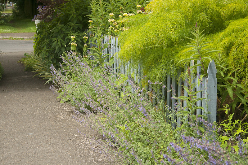 nepeta along path