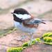 Chestnut-backed Chickadee by janruss