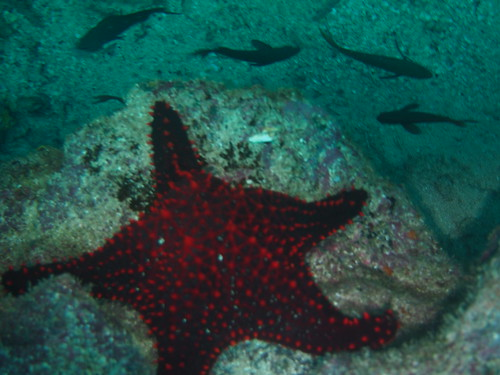 One of the many starfish found in Isla Coiba, Panama