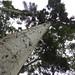 """Small photo of Kauri """"Agathis australis"""""""