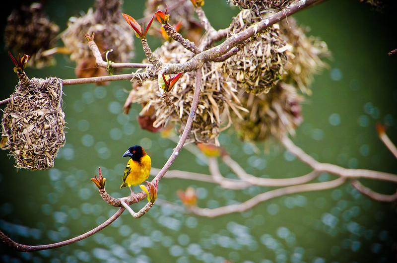last weaver bird