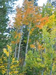 Lone Orange Aspen