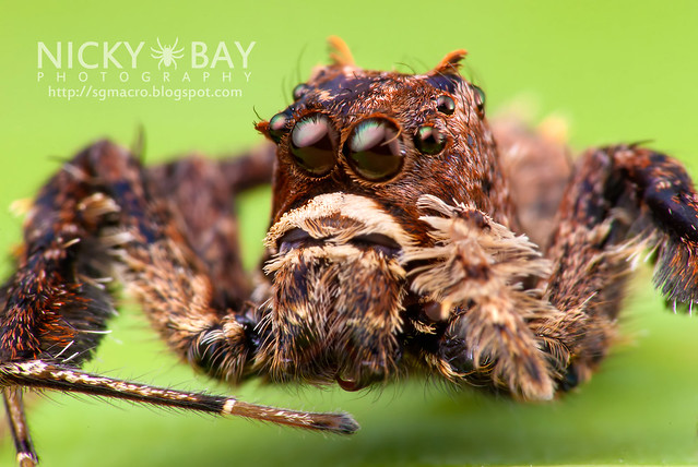 Jumping Spider (Portia sp.) - DSC_5803