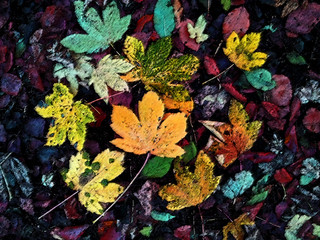 Autumn Leaves Biddulph Grange 05/11/12