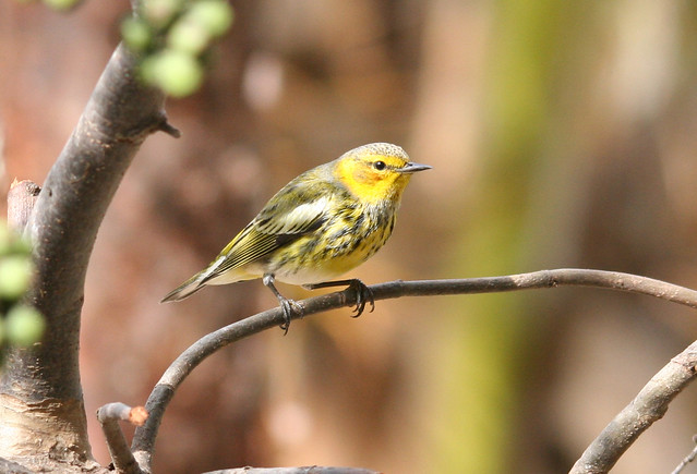 cape may warbler (2)