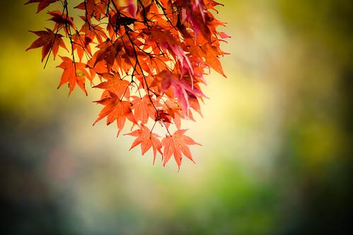 [フリー画像素材] 花・植物, カエデ・モミジ, 紅葉・黄葉 ID:201211180600