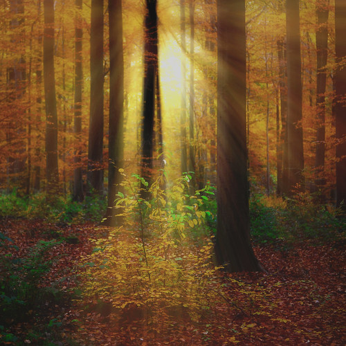 autumn trees light tree fall leaves forest automne leaf ray lumiere rayon foret arbre feuille foretdesoignes