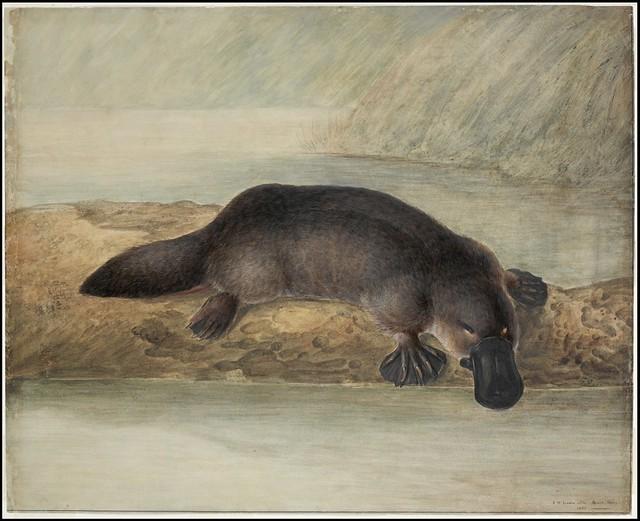 Ornitorrinco (Platypus). 1810.