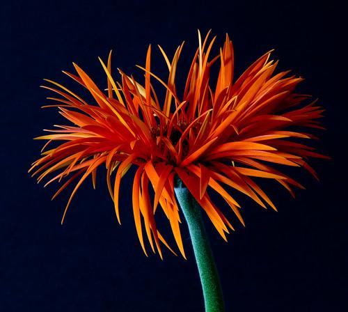 [フリー画像素材] 花・植物, ガーベラ ID:201211240600